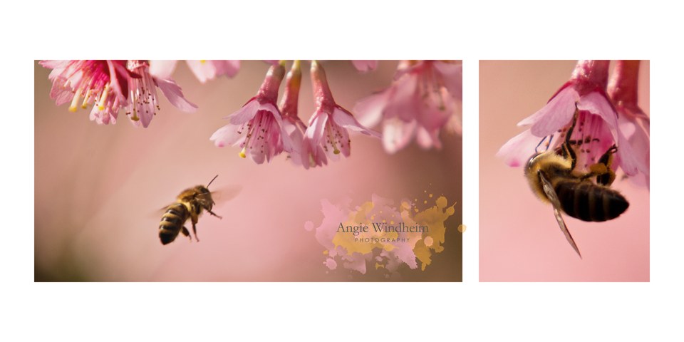 Honey-Bees-Cherry-Tree-Blossoms-Oregon-Spring