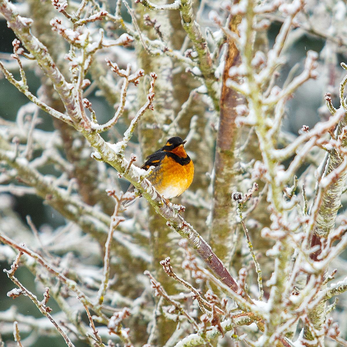 Orange Thrush in winter
