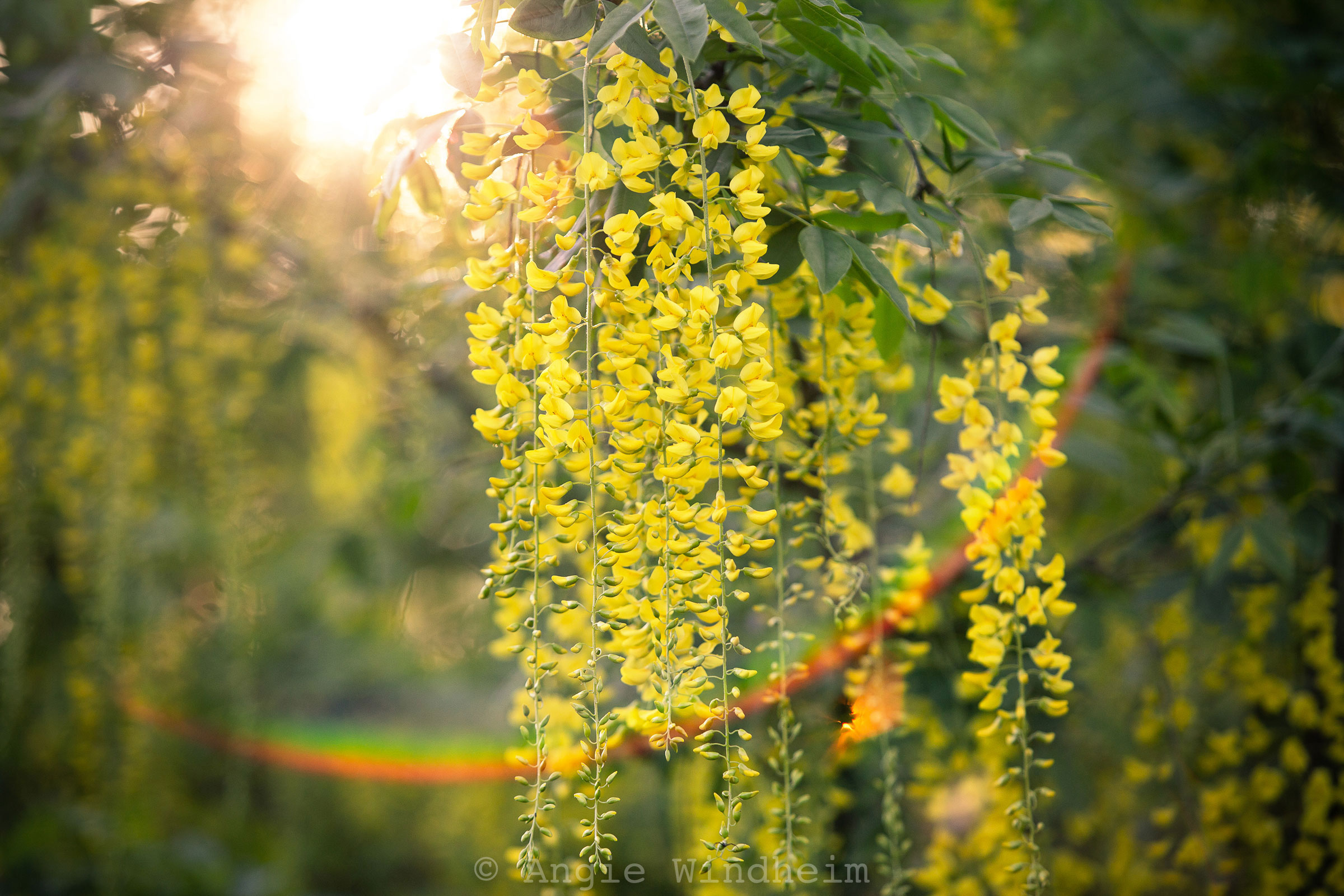 Morning sunlight creates a rainbow flare beneath the blossoms of a Golden Rain Tree.